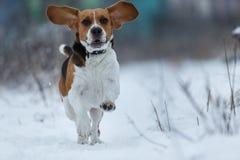 Ευτυχές σκυλί λαγωνικών που τρέχει στον τομέα το χειμώνα στοκ φωτογραφίες με δικαίωμα ελεύθερης χρήσης