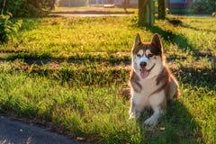 Ευτυχές σκυλί που βρίσκεται στο χορτοτάπητα στο πάρκο Τα σιβηρικά γεροδεμένα ψέματα με τα πόδια του τέντωσαν προς τα εμπρός στην  Στοκ φωτογραφία με δικαίωμα ελεύθερης χρήσης