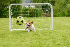Ευτυχές σκυλί που εξετάζει το παιχνίδι σφαιρών ποδοσφαίρου στην παιδική χαρά στοκ φωτογραφίες