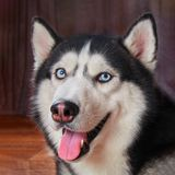 Ευτυχές σκυλί ρυγχών γεροδεμένο Σιβηρικό γεροδεμένο, χαριτωμένο χαμόγελο κατοικίδιων ζώων Εύθυμο γεροδεμένο μαύρο και μπλε χρώμα  Στοκ Εικόνες