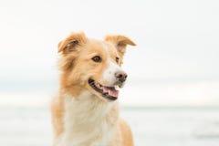 Ευτυχές σκυλί κόλλεϊ οικότροφων Στοκ φωτογραφία με δικαίωμα ελεύθερης χρήσης