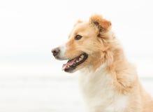 Ευτυχές σκυλί κόλλεϊ οικότροφων Στοκ Εικόνες