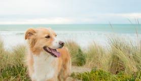 Ευτυχές σκυλί κόλλεϊ οικότροφων Στοκ εικόνα με δικαίωμα ελεύθερης χρήσης