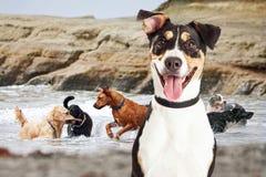 Ευτυχές σκυλί που έχει τη διασκέδαση στην παραλία σκυλιών Στοκ Εικόνες