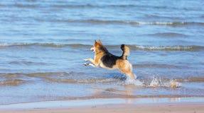 Ευτυχές σκυλί που τρέχει στην παραλία στοκ εικόνα