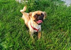 Ευτυχές σκυλί χαμόγελου Στοκ Εικόνες