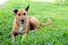 Ευτυχές ταϊλανδικό σκυλί στη χλόη στοκ φωτογραφίες με δικαίωμα ελεύθερης χρήσης
