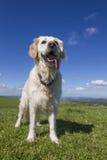 Ευτυχές χρυσό retriever σκυλί στον τομέα με το μπλε ουρανό Στοκ Εικόνες