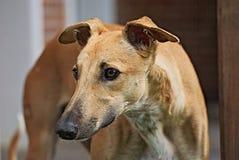 Ευτυχές greyhound υπαίθριο στη χλόη Στοκ εικόνες με δικαίωμα ελεύθερης χρήσης
