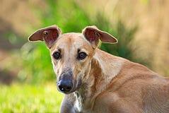 Ευτυχές greyhound υπαίθριο στη χλόη Στοκ φωτογραφία με δικαίωμα ελεύθερης χρήσης