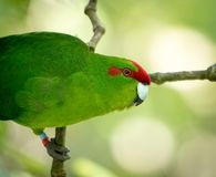 Ευτυχές Parakeet Στοκ Εικόνες