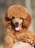 ευτυχές poodle κουτάβι Στοκ φωτογραφία με δικαίωμα ελεύθερης χρήσης