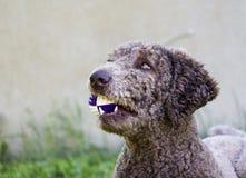 Ευτυχές poodle με τη σφαίρα Στοκ Φωτογραφία