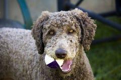 Ευτυχές poodle με τη σφαίρα Στοκ Εικόνες