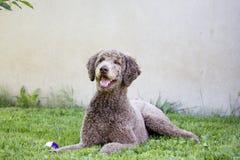 Ευτυχές poodle Στοκ Φωτογραφία