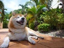 Ευτυχές Shiba στοκ φωτογραφίες