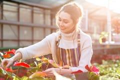 Ευτυχής αρκετά νέος κηπουρός γυναικών που φροντίζει τα anthuriums Στοκ φωτογραφία με δικαίωμα ελεύθερης χρήσης
