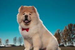 Ευτυχής γούνινος λίγο chow chow σκυλί κουταβιών που φορά το κόκκινο bowtie στοκ φωτογραφίες με δικαίωμα ελεύθερης χρήσης