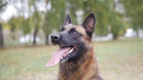 Ευτυχής εκπαιδευμένος γερμανικός πυροβολισμός πορτρέτου σκυλιών ποιμένων στοκ εικόνα με δικαίωμα ελεύθερης χρήσης