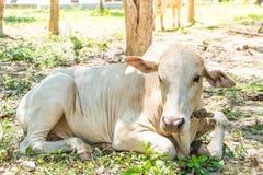 Ευτυχής ενιαία αγελάδα Στοκ φωτογραφίες με δικαίωμα ελεύθερης χρήσης