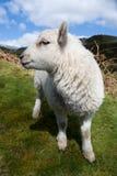 Ευτυχής και χαριτωμένη αγγλικής και ουαλλέζικης ζωική άγρια φύση μωρών προβάτων, άσπρα πρόβατα, άνοιξη στους λόφους του Shropshir Στοκ Εικόνες