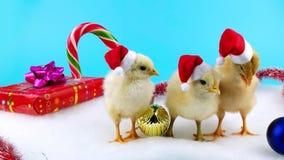 Ευτυχής κινεζική νέα έννοια έτους 2017, όμορφοι νέοι κόκκορες στα καπέλα Santa φιλμ μικρού μήκους