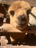 Ευτυχής προβατοκάμηλος του Περού στοκ εικόνα