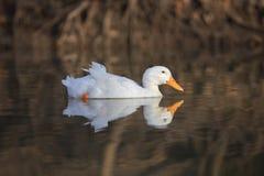 Ευτυχής στιγμή της άσπρης πάπιας που κολυμπά στη λίμνη, με την αντανάκλαση Στοκ Φωτογραφία