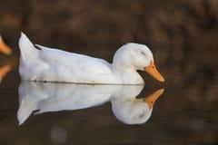 Ευτυχής στιγμή της άσπρης πάπιας που κολυμπά στη λίμνη, με την αντανάκλαση Στοκ εικόνα με δικαίωμα ελεύθερης χρήσης