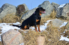 Ευτυχής συνεδρίαση Rottweiler μεταξύ των βράχων στοκ φωτογραφία με δικαίωμα ελεύθερης χρήσης