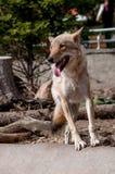 Ευτυχής λύκος Στοκ Φωτογραφίες