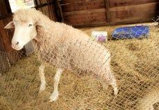 Ευτυχή άσπρα πρόβατα Στοκ εικόνα με δικαίωμα ελεύθερης χρήσης