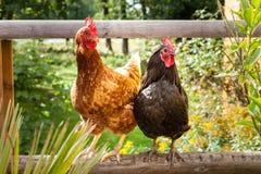 Ευτυχή κοτόπουλα στοκ εικόνα