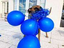ευτυχή μεγάλα παιχνίδια σκυλιών με ένα μπαλόνι Στοκ Εικόνες