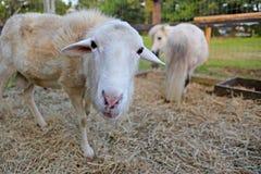 Ευτυχή πρόβατα Στοκ Φωτογραφίες
