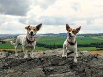 Ευτυχή σκυλιά τεριέ του Jack Russell στοκ εικόνα με δικαίωμα ελεύθερης χρήσης
