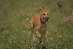 Ευτυχή greyhounds σε έναν τομέα στην Αργεντινή Στοκ Εικόνες