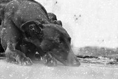 Ευτυχή greyhounds σε έναν τομέα στην Αργεντινή Στοκ φωτογραφίες με δικαίωμα ελεύθερης χρήσης