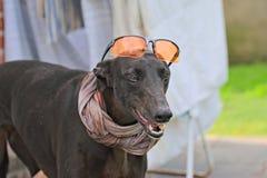 Ευτυχή greyhounds σε έναν τομέα στην Αργεντινή Στοκ Φωτογραφίες