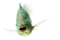 Ευτυχή Tilapia ψάρια Στοκ Εικόνες