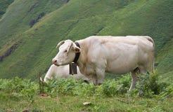 Ευτυχείς χαριτωμένες καφετιές αγελάδες που απολαμβάνουν στα βουνά irati Στοκ εικόνα με δικαίωμα ελεύθερης χρήσης