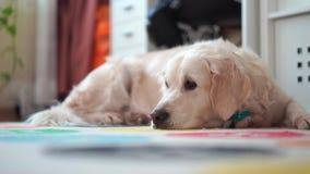 Ευτυχισμένες ζωές των κατοικίδιων ζώων στο σπίτι - όμορφο μεγάλο σκυλί που στηρίζεται στο δωμάτιο απόθεμα βίντεο