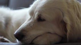 Ευτυχισμένη ζωή κατοικίδιων ζώων στο σπίτι - όμορφο χρυσό retriever σκυλιών που στηρίζεται στον καναπέ στο σπίτι απόθεμα βίντεο