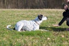 Ευφυές σκυλί που μαθαίνει μια εντολή παραμονής Στοκ Εικόνες