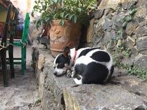 Ευχάριστος ύπνος λίγου διαμορφωμένου αγελάδα Chihuahua στοκ εικόνα με δικαίωμα ελεύθερης χρήσης