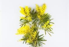 Ευχετήρια κάρτα εορτασμού ημέρας γυναικών, mimosa σε ένα άσπρο υπόβαθρο Στοκ Εικόνες