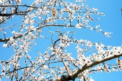 Ευώδη άσπρα λουλούδια άνοιξη ενάντια στο μπλε ουρανό στοκ εικόνα