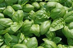 ευώδη φύλλα γεύσης βασιλικού μαγειρεύοντας στοκ φωτογραφία