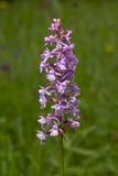 ευώδες orchid Στοκ Εικόνες