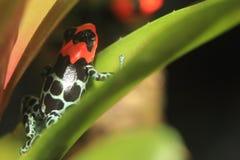 Ευλογημένος βάτραχος δηλητήριων Στοκ Εικόνες